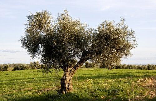 Φυτά για την υπέρταση - Ελαιόδεντρο