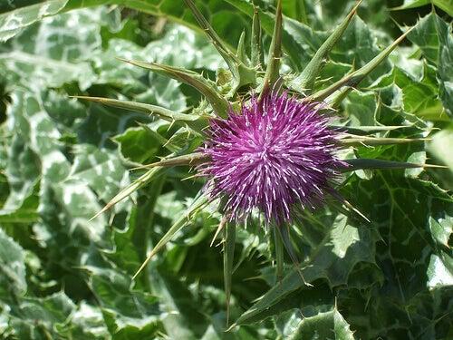 φυτά για το ουρικό οξύ και γαιδουραγκαθο