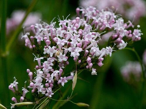 βαλεριανα για φυτά για τη βελτίωση της διάθεσης