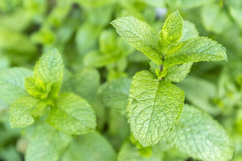 10 φυτά που προσελκύουν θετική ενέργεια - Φύλλα δυόσμου
