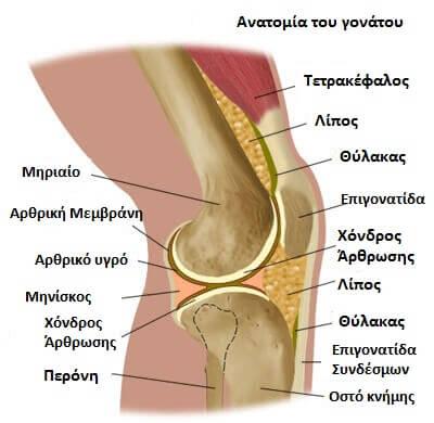 anatomia gonatou