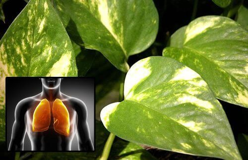 Το φυτό επίπρεμνο για τον καθαρισμό του αέρα στο σπίτι