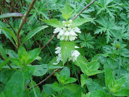 Βότανα που καταπολεμούν την τριχόπτωση - Τσουκνίδα