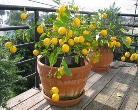 φυτέψετε μια λεμονιά