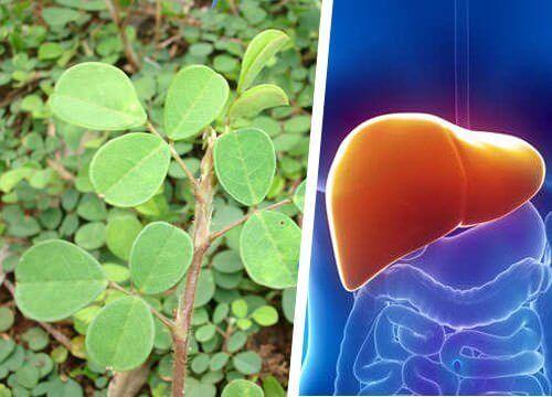 Αυτό το φυτό θα αναπλάσει το συκώτι σας