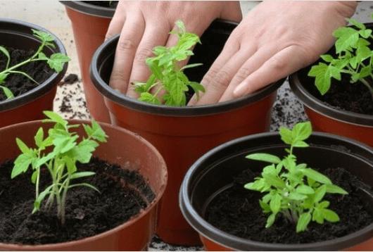 Πως να καλλιεργήσετε ντομάτες στο σπίτι σας, διαδικασία φυτέματος
