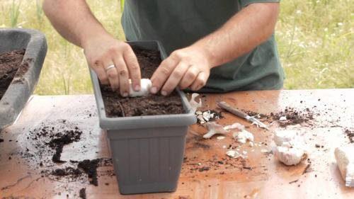 Θέλετε να καλλιεργήσετε σκόρδο στο σπίτι σας;