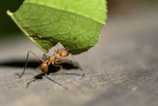 Χρήσεις του λεμονιού - Μυρμήγκι κουβαλά φύλλο