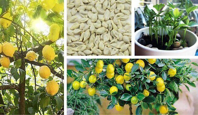 Πώς να φυτέψετε μια λεμονιά στο σπίτι σας