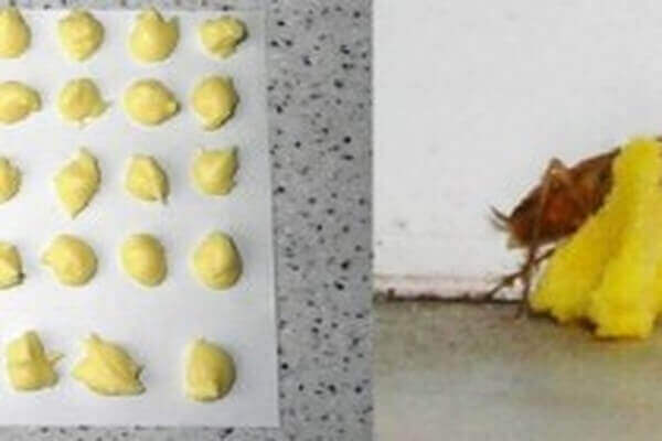 εξουδετερώσετε τις κατσαρίδες με βορικό οξύ