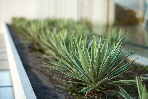 Φυτά για το δωμάτιό σας - Αλόη βέρα σε γλάστρα