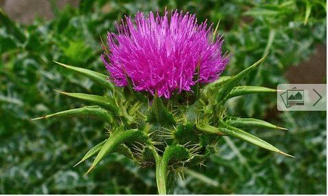 Βότανα για να προστατεύσετε το συκώτι σας - Γαϊδουράγκαθο