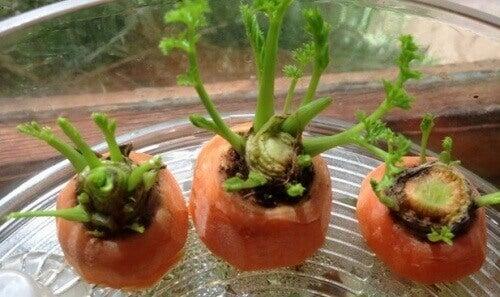 Πώς να καλλιεργήσετε καρότα στο σπίτι - Καρότα που μεγαλώνουν