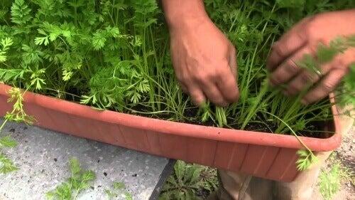 Πώς να καλλιεργήσετε καρότα στο σπίτι - Γλάστρα με καρότα