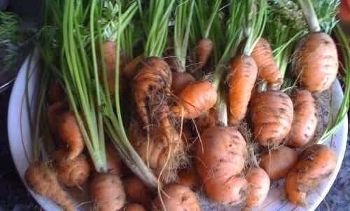 Πώς να καλλιεργήσετε καρότα στο σπίτι. Είναι εύκολο