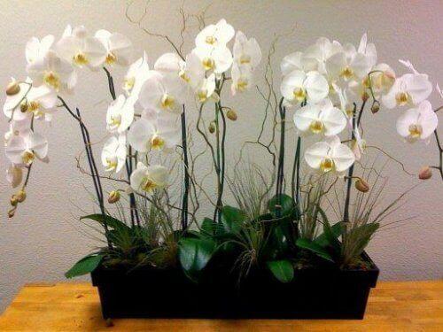 λευκή ορχιδέα, φυτά που καθαρίζουν τον αέρα του σπιτιού σας