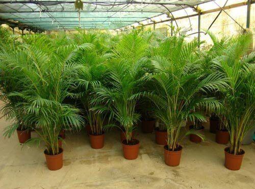 χαλαρωτική επίδραση, φυτά που καθαρίζουν τον αέρα του σπιτιού σας