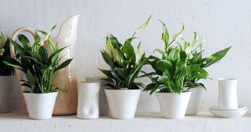 κρίνος της ειρήνης, φυτά που καθαρίζουν τον αέρα του σπιτιού σας