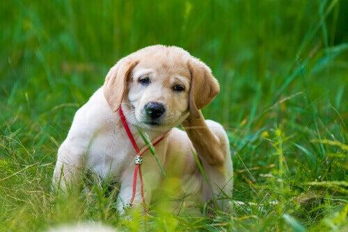 Διώξτε τους ψύλλους απο το σκυλί