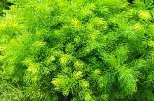 βότανα που αυξάνουν την ερωτική διάθεση- σπαραγγι