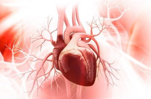 καρδιαγγεική, καρδιά