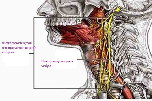 Πνευμονογαστρικό νεύρο