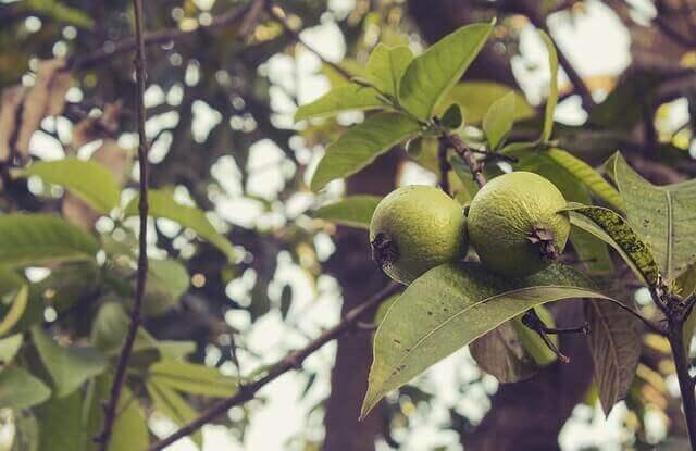 9 φυσικές θεραπείες για τη δυσοσμία του κόλπου, γκουάβα