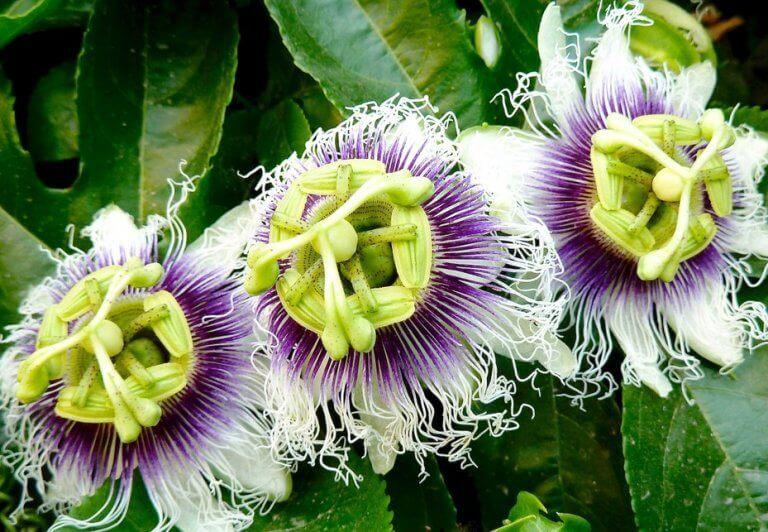 Λουλούδι πασιφλόρα