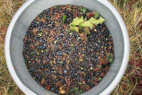 σπόροι από άρκευθο σε μεταλλικό κουβά