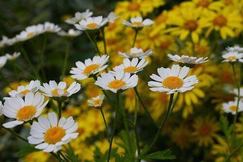 λουλούδια χαμομηλιού σε λιβάδι