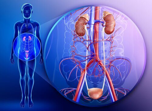 ιδιότητες του μαϊντανού νεφρά σε ανθρώπινο σώμα