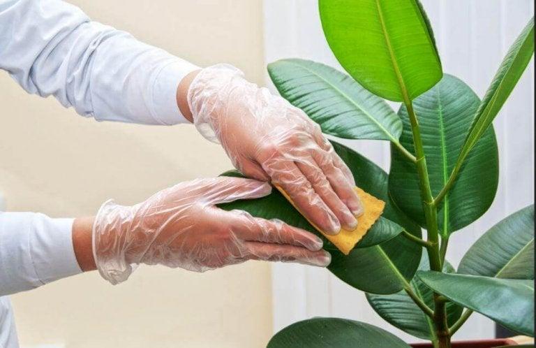 Πώς να καθαρίζετε τα φύλλα από τα φυτά εσωτερικού χώρου