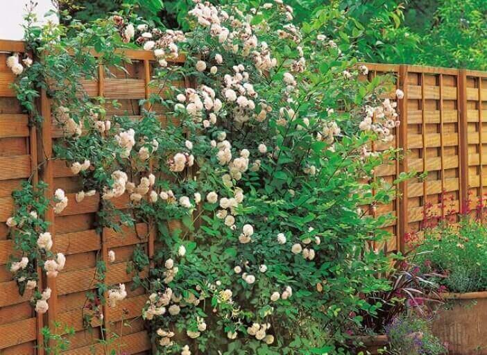 Μικροί αστικοί κήποι - Αναρριχώμενα φυτά