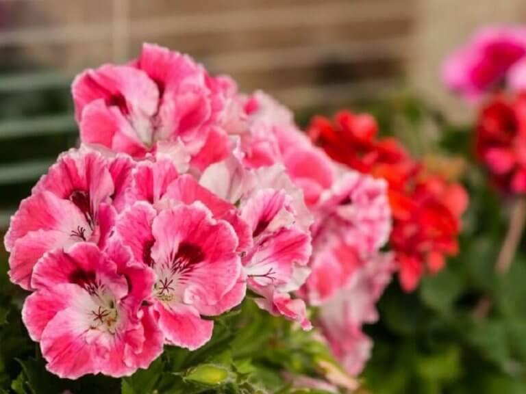 Άνθη γερανιού, θεραπείες για την ουλίτιδα
