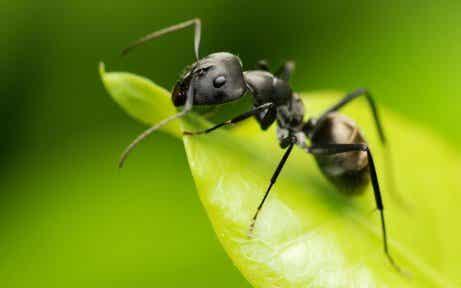 Μυρμήγκι σε φυλλο