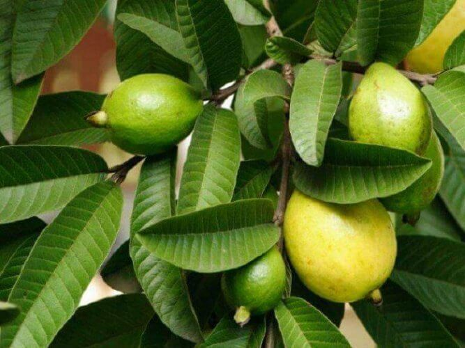 φύλλα γκουάβα