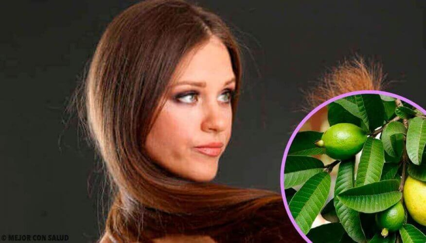 Φύλλα γκουάβα για ταλαιπωρημένα μαλλιά.