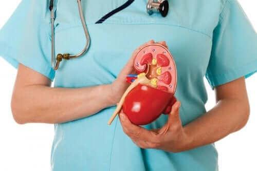 Γιατρός κρατά πλαστικό νεφρό