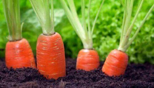 Καρότα στο χώμα