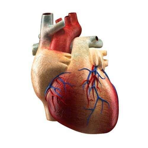 Τα μέρη της καρδιάς και οι λειτουργίες τους