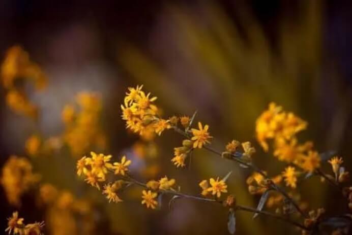 Φυτό άρνικα για νευραλγία του τριδύμου