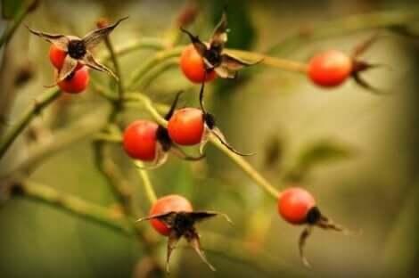 Φρούτα άγριας τριανταφυλλιάς