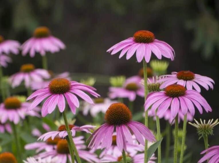 λουλουδια εχινάκεια