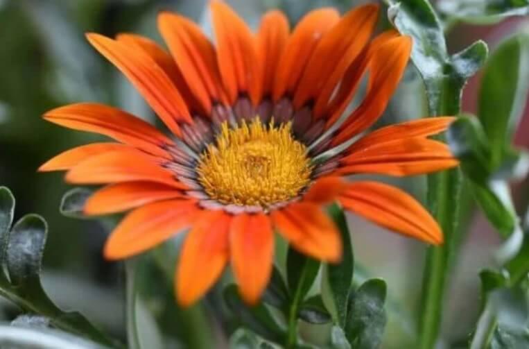 λουλούδια γκαζάνια