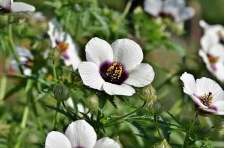 λουλούδι αλθαίας