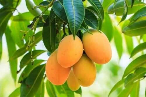 Φρούτα μάνγκο κρέμονται στο δένδρο