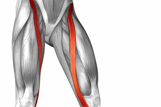 Ανατομία ραπτικού μυ